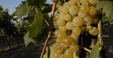Vino al vino: Bertinoro celebra l'Albana