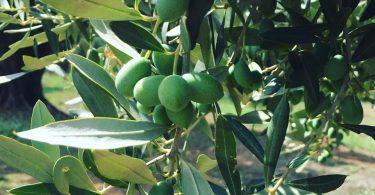 Presente e futuro dell'olio extra vergine di oliva